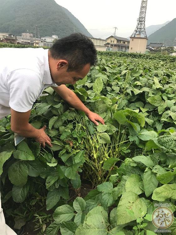 黒豆産地探訪記_おせちやスタッフレポート_実っている黒大豆
