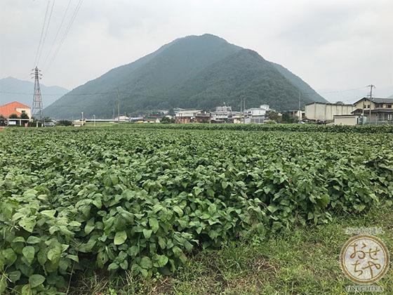 黒豆産地探訪記_おせちやスタッフレポート_畑